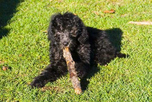 Little Dog Big Stick 9947