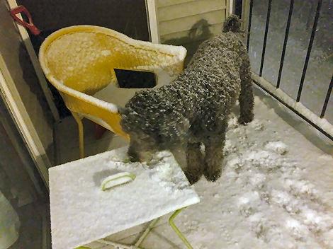 Dog Eating Snow 8945