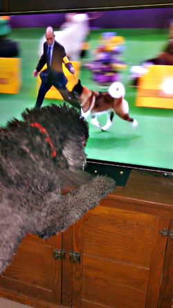 Anchor Watches The Westminster Dog Show 0340