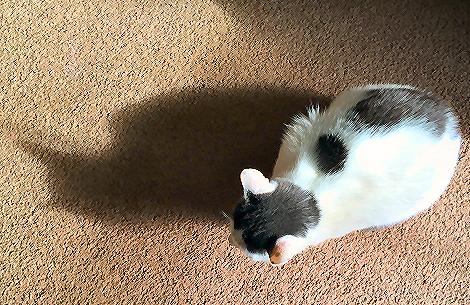 Cat Shadow 8007