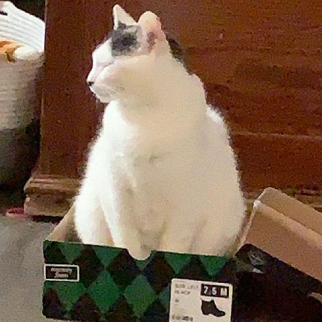 Fat Cat in a Little Box 6676