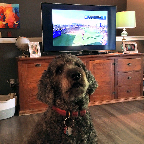 Who Knew? #AnchorTheDog a #RyderCup fan.