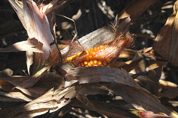 Colorful_corn_2245