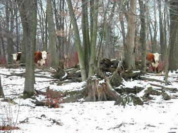 Gang_of_cows_4649