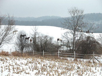 Horses_in_the_snow_5705