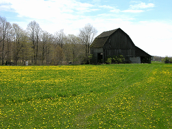 Barn_in_dandelion_field_7618