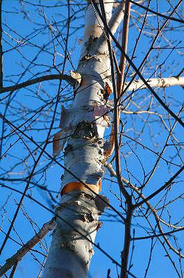 Birch_tree_7072