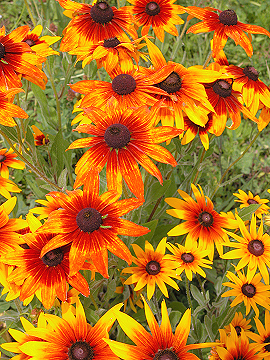 Black_eyed_susans_0391