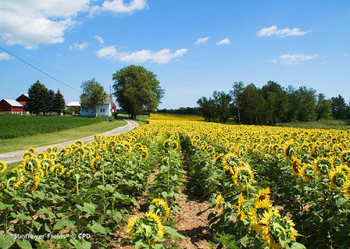 Sunflower_fields_5345